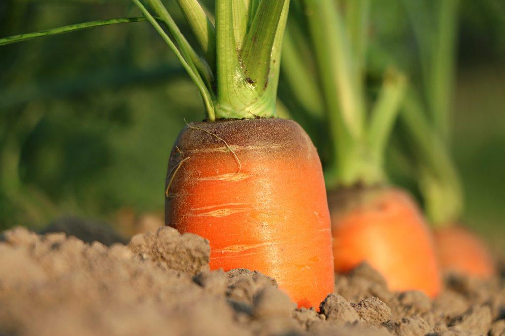 Bio-Karotten frisch vom Feld? Mit Genussrechten wird das möglich.