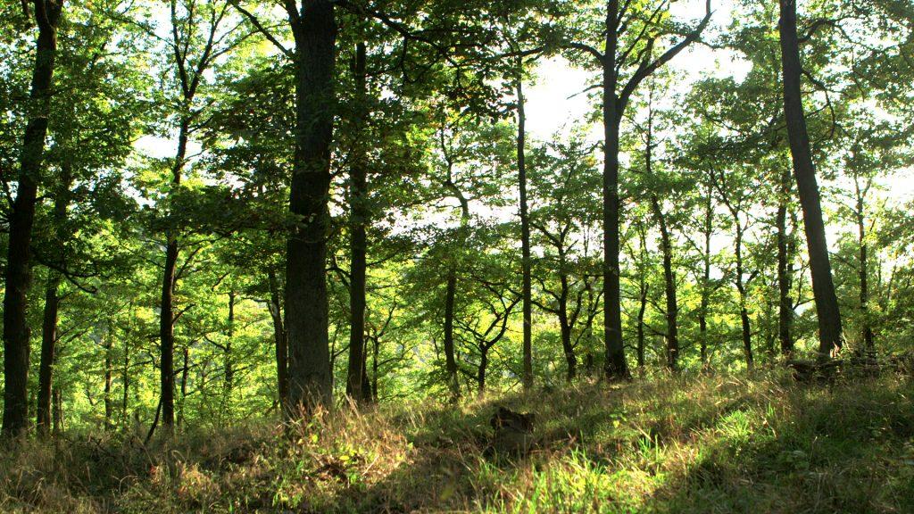 """Eichen in der Spätsommersonne – sie gehören zum Waldfriedhof """"Rest in Trees"""", haben ein beachtliches Alter und wachsen auf einem Boden, der seit Jahrtausenden nicht bewirtschaftet wurde. Foto: ForestFinance"""