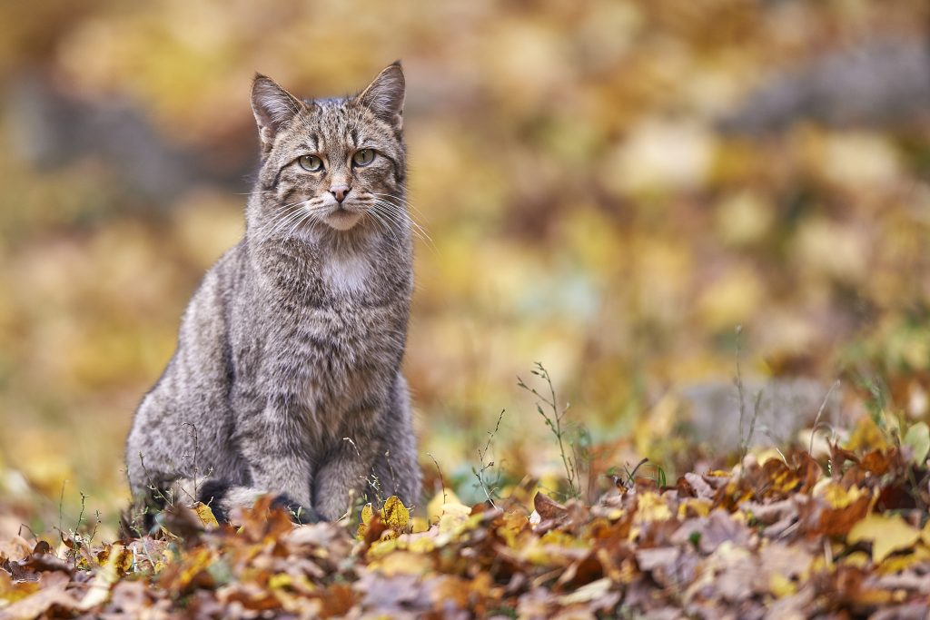 """Wildkatzen kehren langsam in die Eifel zurück. Unbewirtschaftete Laubwälder wie der Waldfriedhof """"Rest in Trees"""" sind für sie überlebensnotwendig. Foto: iStock/Michael Roeder"""