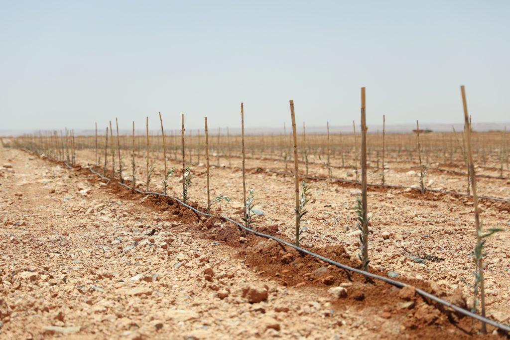Tröpfchenbewässerungssystem an Olivensetzlingen in Marokko
