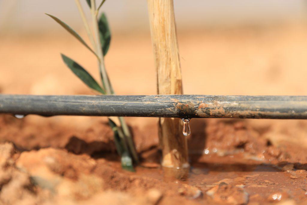Tröpfchenbewässerung an Olivensetzling