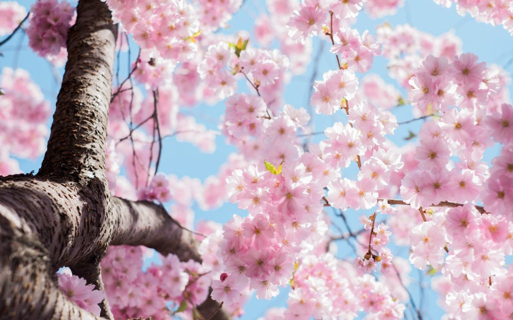 Mandelbaum mit rosa Blüten
