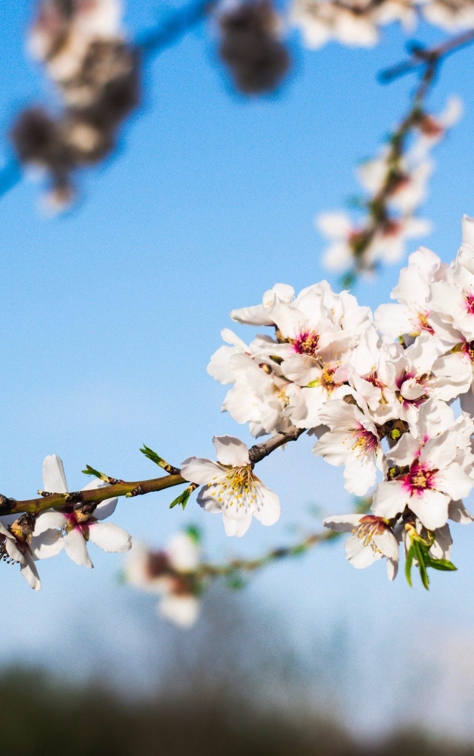 Mandelblüten vor blauem Himmel