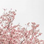 Ein blühender rosaner Mandelbaum in voller Pracht